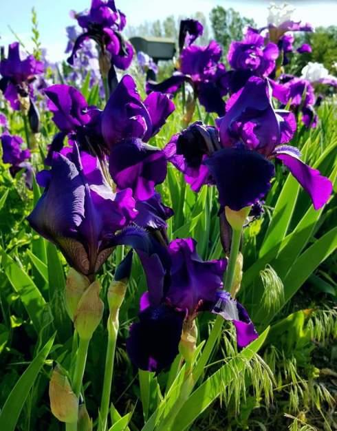 purpleflowers (2)