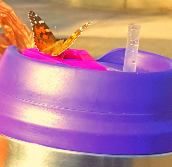 butterflycup